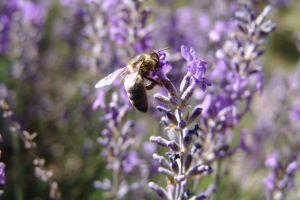 L'abeille, la reine de l'exploitation Bleu d'Argens