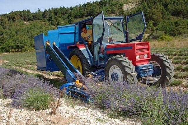 La récolte de la lavande fine sur l'exploitation Bleu d'argens dans le verdon